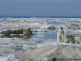A Female Polar Bear and Her Cubs Approach a Group of Walruses