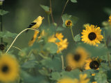 A Male American Goldfinch Sits on a Sunflower Eating Seeds