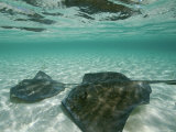 Two Southern Stingrays Swim in Pristine Waters