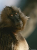 Sleepy Female Gelada with Her Eyes Closed  Revealing the Pink Lids