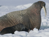 A Female Atlantic Walrus  and Her Calf Rest on an Ice Floe