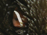 Clown Fish Seeks Refuge Among Sea Anemone Tentacles