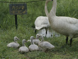 Swans and Their Babies Rest at the Waters Edge by a No Fishing Sign