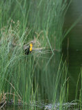 Yellow Headed Blackbird on Grasses