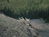 Mountain Goats on a Rocky Mountainside in the Yukon Territory