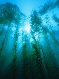 Kelp Forest Underwater  Tasmania  Australia