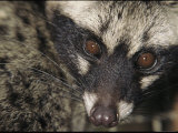A Malayan Civet Stares into the Camera