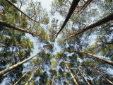 A View of Towering Trees  Looking up at Them from Below