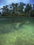Florida Manatee  Crystal River  Florida