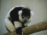 Close View of a Black and White Ruffed Lemur Perched on a Branch