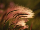 Foxtail Grass in Sunlight