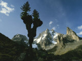 Silhouetted Giant Groundsel Plant with Mountains in Background