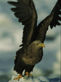 A White-Tailed Sea Eagle Flaps its Wings
