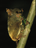 A Tarsier Climbs a Tree as it Feeds on an Insect