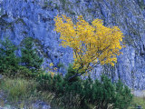 Autumn Foliage against Rock  Berchtesgaden National Park  Germany