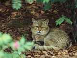Wildcat in Forest