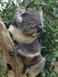 A Close View of a Koala in an Eucalyptus Tree