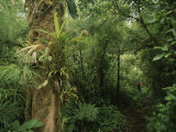 Rain Forest Tree with Bromeliad Plants  Costa Rica