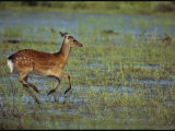 A Sika Deer Runs Through a Chincoteague Marsh