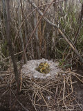 Canada Goslings in Their Nest