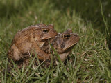 A Male and a Female American Toad Mating in the Grass