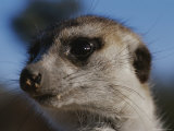 A Close View of a Meerkats (Suricata Suricatta) Face