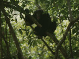 Shrieking Chimpanzee in Tree