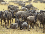 A Herd of Wildebeests Looking at the Camera