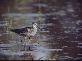 A Greater Yellowlegs Bird in a Chincoteague  Virginia Wetland