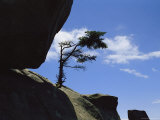 A Pine Tree Growing on Rock Atop Clingmans Dome