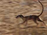 An Adult Meerkat Runs Through the Kalahari Desert