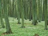 Forest Scene  Vorpommersche Boddenlandschaft National Park  Germany