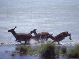 Sika Deer Running Through Marsh Water  Chincoteague  Virginia