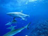 Gray Reef Sharks  Bikini Atoll  Marshall Islands  Micronesia