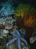 A Blue Starfish with Colorful Coral and Sea Anemones Papier Photo par Wolcott Henry