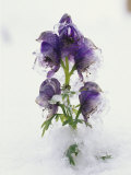 Blue Monkshood Flowers in Ice  Berchtesgaden National Park  Germany
