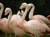 A Flock of Chilean Flamingos