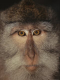 The Face of a Long-Tailed Macaque