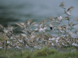 A Flock of Western Sandpipers