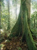 A Dipterocarp Tree in the Pristine Rain Forest of Borneo