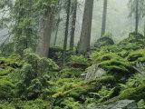 Forest Scenic  Bayerischer Wald National Park