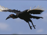 A Southern Ground Hornbill in Flight Scans the Ground for Food