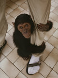 An Orphaned Chimp Finds Comfort Clinging to a Human Caretaker