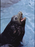 A Captive Eared Seal with Injuries on Neck