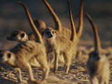 Group of Meerkats (Suricata Suricatta) on All Fours with Erect Tails