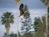 An Osprey in Flight with a Catch in its Talons
