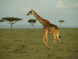 A Giraffe Walks Across a Savanna