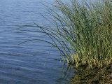 Reeds Along the Shore of Black Hill Lake  Black Hill Regional Park