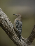 View of a Gila Woodpecker on a Tree Trunk