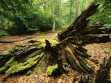 Woodland View with Moss on Dead Tree  Muritz National Park  Germany